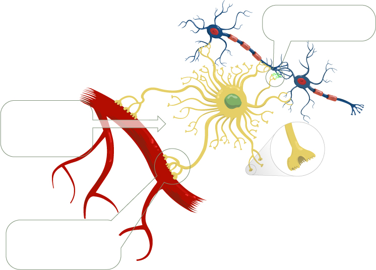 Astrocytes: Keeping Your Brain Healthy | BrainTalks