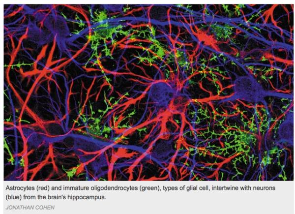 astrocytes and oligodendrocytes